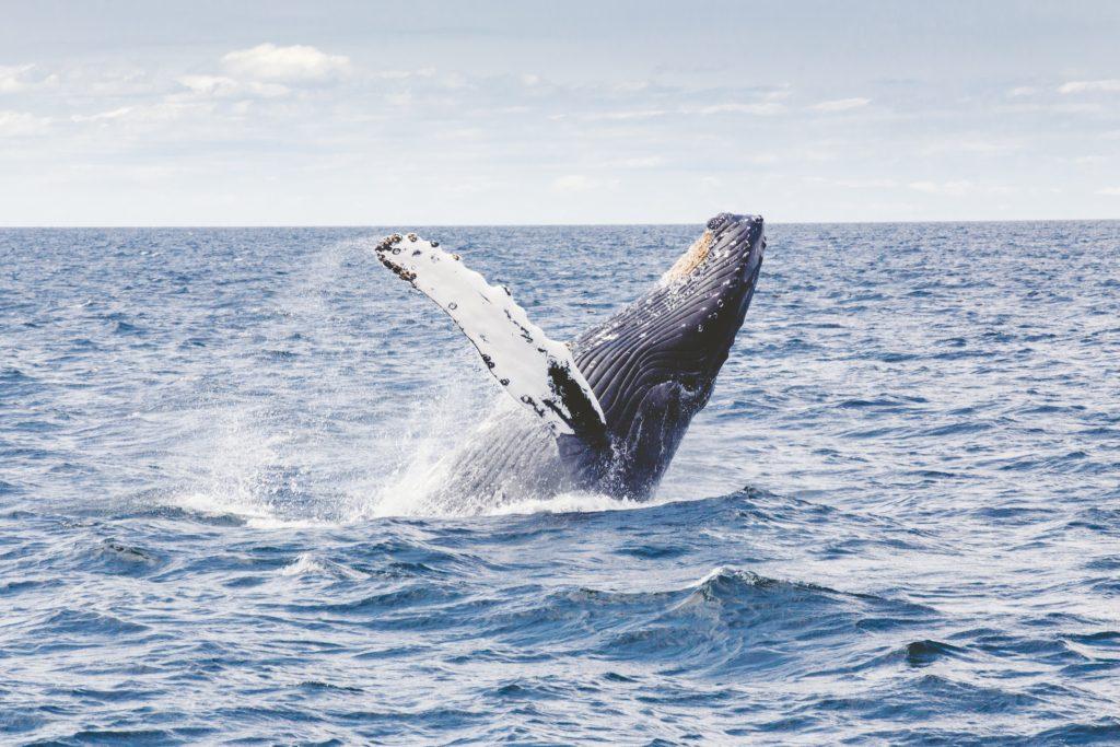 humpback-whale-1209297